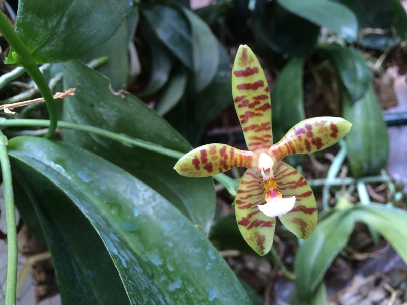 Phalaenopsis Meen Estrella 16858852424_752ef50823_o