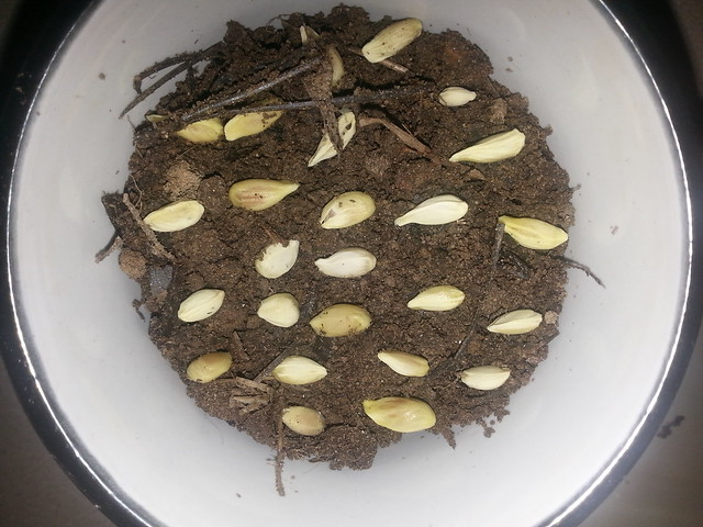 Lemon Seeds in pot 1