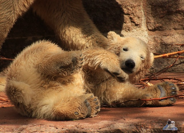 Eisbär Fiete im Zoo Rostock 03.05.2015  175