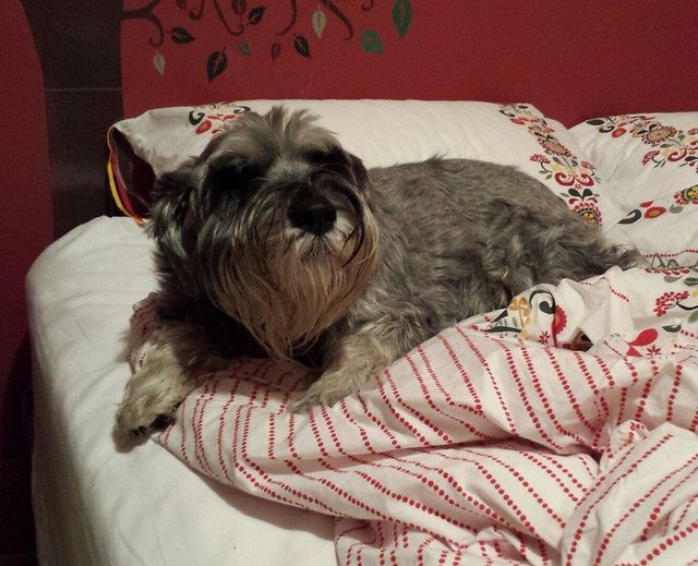 13 of 12: it's that time of year where schnauzers attempt to build nests in spare bedrooms.