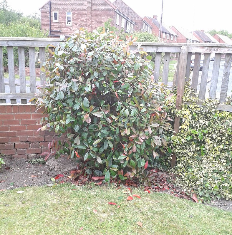 Photinia, Red Robin: After pruning