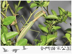 中華大螳螂-01