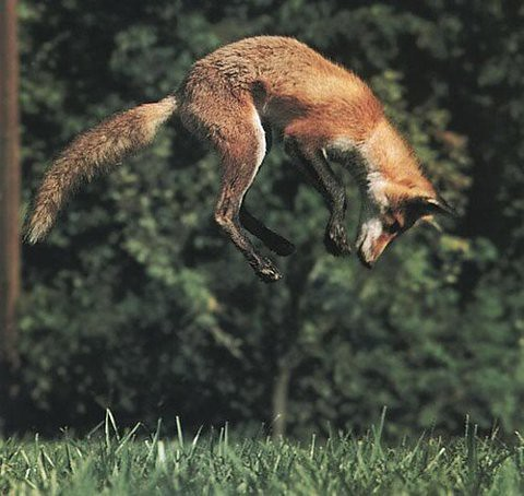 Pouncing Fox. Image source unknown.