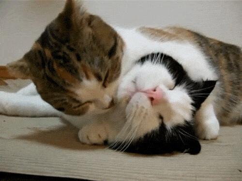 Cuddling Gif 猫gifアップ ivygreentea: