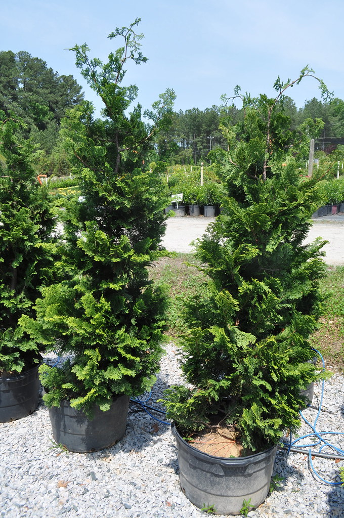 Compacta Hinoki Cypress Evergreen Partners Of Raleigh