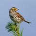 Savannah sparrow (4 shots)