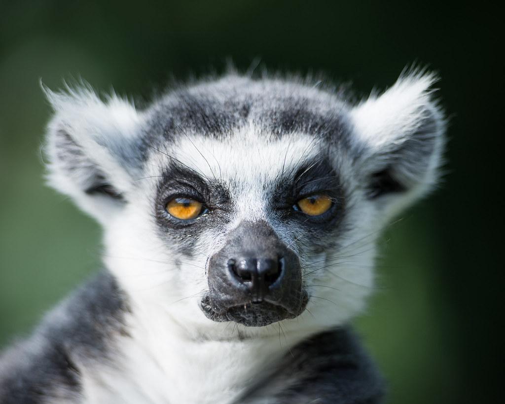 never disturb a lemur before breakfast ringtailed