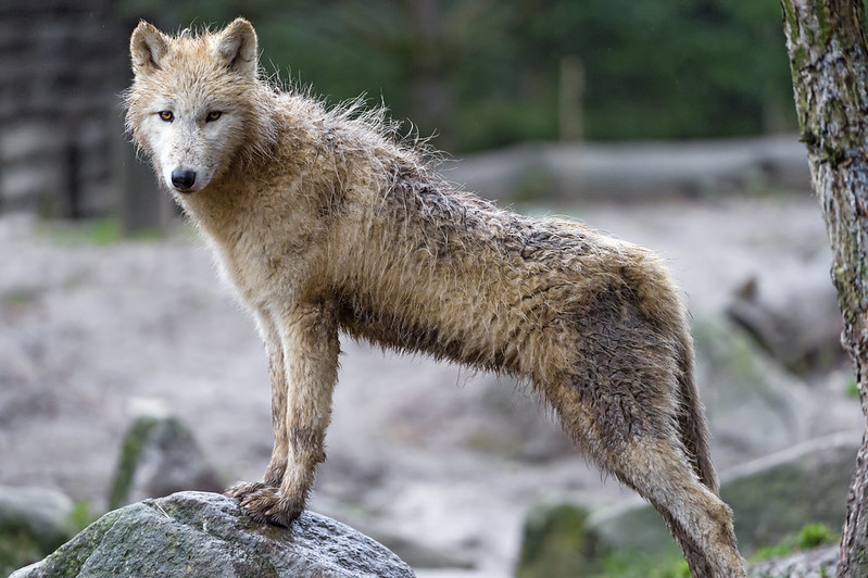 Standing arctic wolf