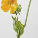 Gele hoornpapaver / Yellow hornpoppy / Glaucium flavum