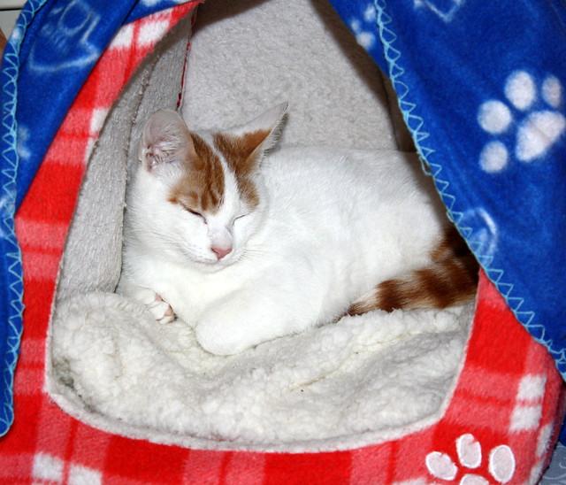 Gary, gatito blanco y naranja cruce Van Turco esterilizado muy activo nacido en Julio´16, en adopción. Valencia. ADOPTADO. 30500391934_f5c5d22100_z