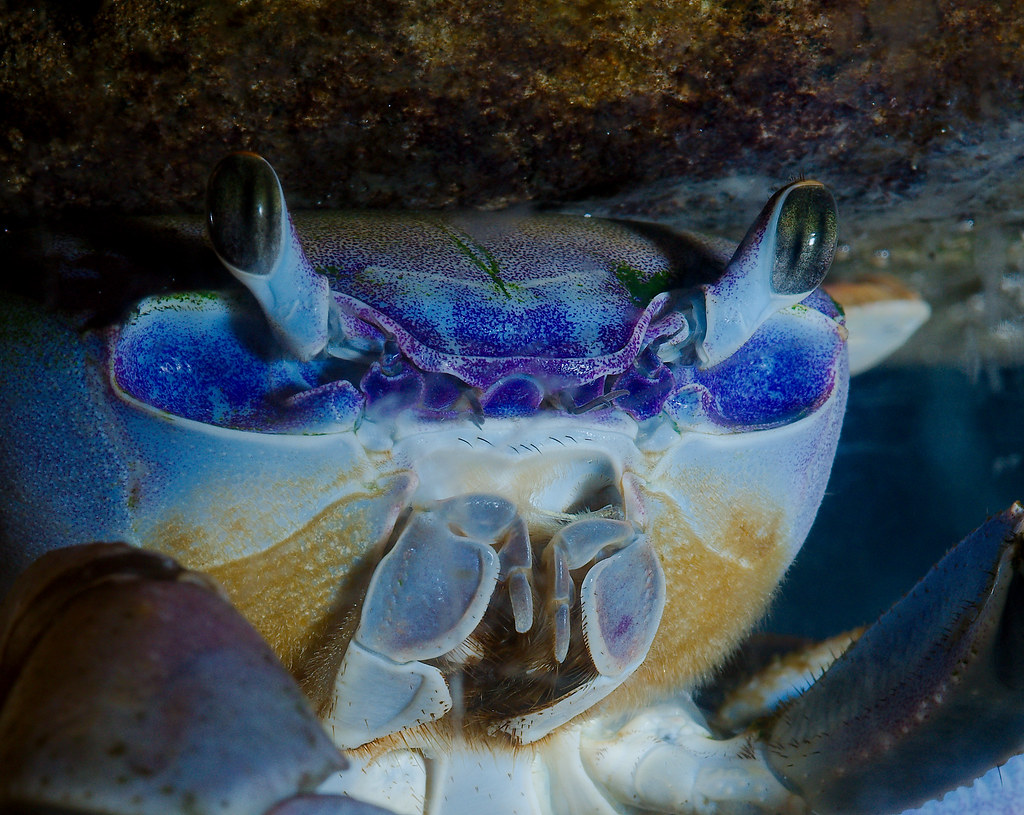Great Land Crab (Cardisoma guanhumi)_4
