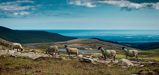 sheep scenery | by Sean Barden