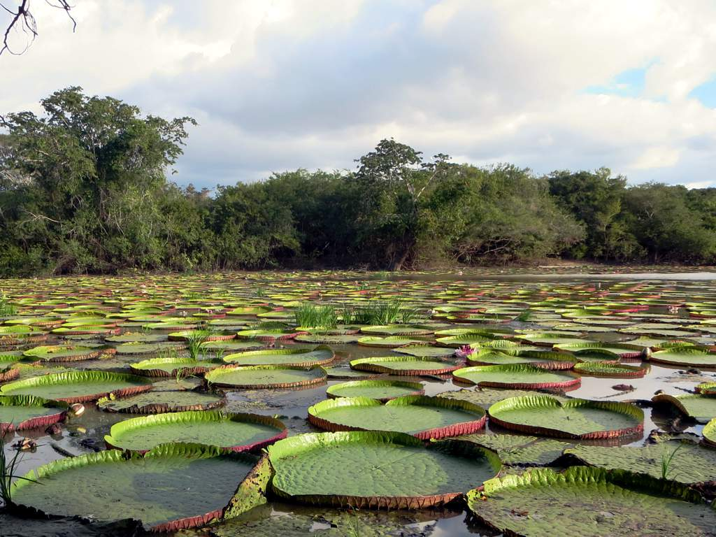 Giant Water Lily The Giant Water Lily Victoria