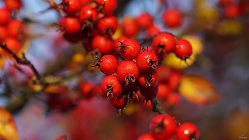 Autumn Berries....