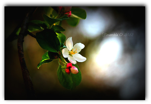 Sweet Crabapple Blossom | by Flowerchild ♥