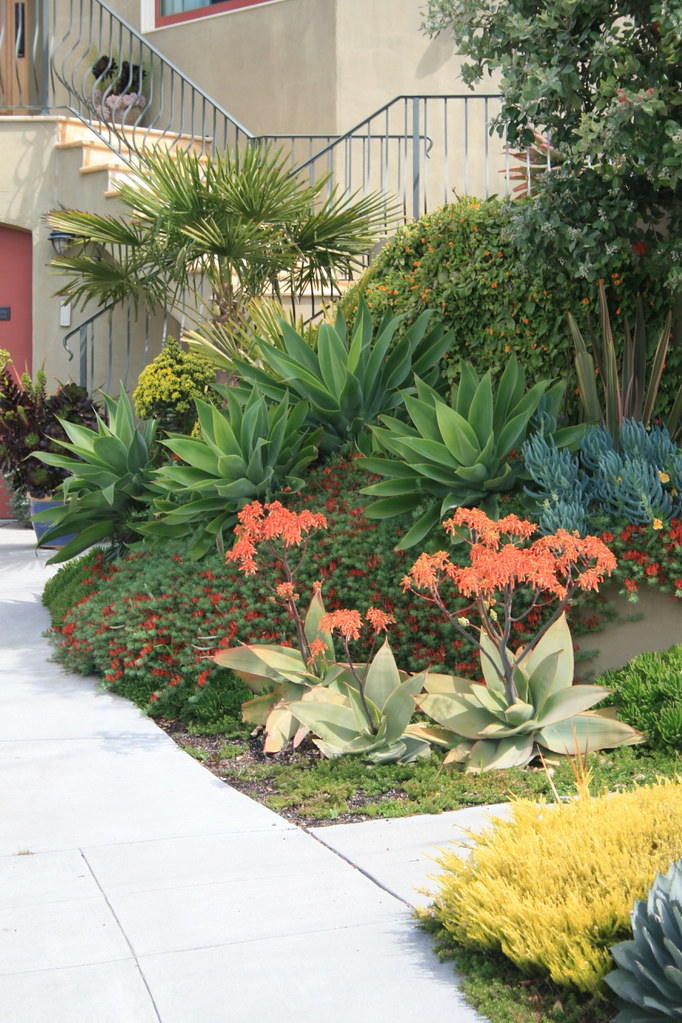 succulents at driveway planter agave attenuata 39 s aloe str flickr. Black Bedroom Furniture Sets. Home Design Ideas
