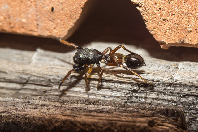 Ant mimicry