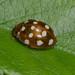 Cream-spot ladybird  -   Calvia 14-guttata