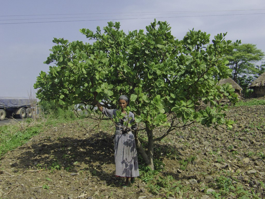Ethiopia Three Year Old Cashew Tree Gebe June 2013