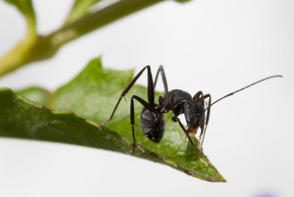 Hormiga ant una hormiga come hojas en mi jard n for Hormigas en el jardin
