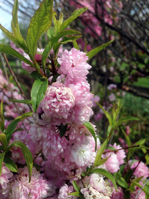 Dwarf Flowering Almond