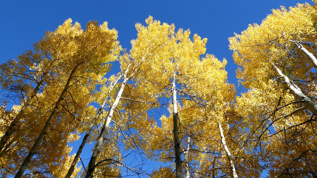 Aspens along the Beaver Lake trail on September 26th.