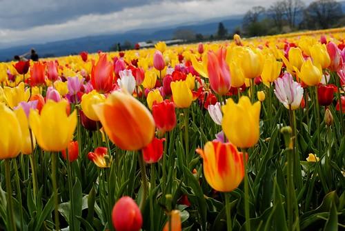 Tulip Fields Under Threatening Skies