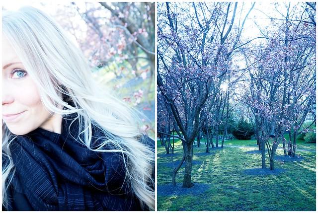 kirsikkapuistoroihuvuori2,kirsikankukka1, kirsikkapuisto, roihuvuori,helsinki, visit helsinki, tip helsinki, japanese style garden, cherry park, kirsikkapuisto, japanilaistyylinen puutarha, hanami, sakura, kirsikankukat, cherry blossom, vinkit, kukat, luonto, pinkki, vaaleanpunainen, kaunis, puutarha, puisto, itä-helsinki, japani, kukat,