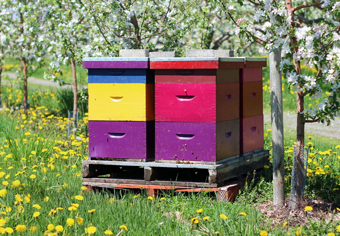 6_vergers-lafrance-pommiers-abeilles