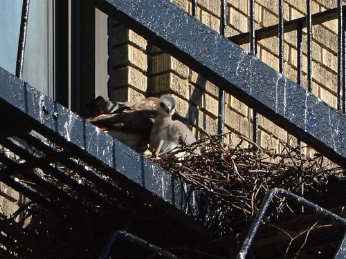 JHW Hawk Nest - 1626