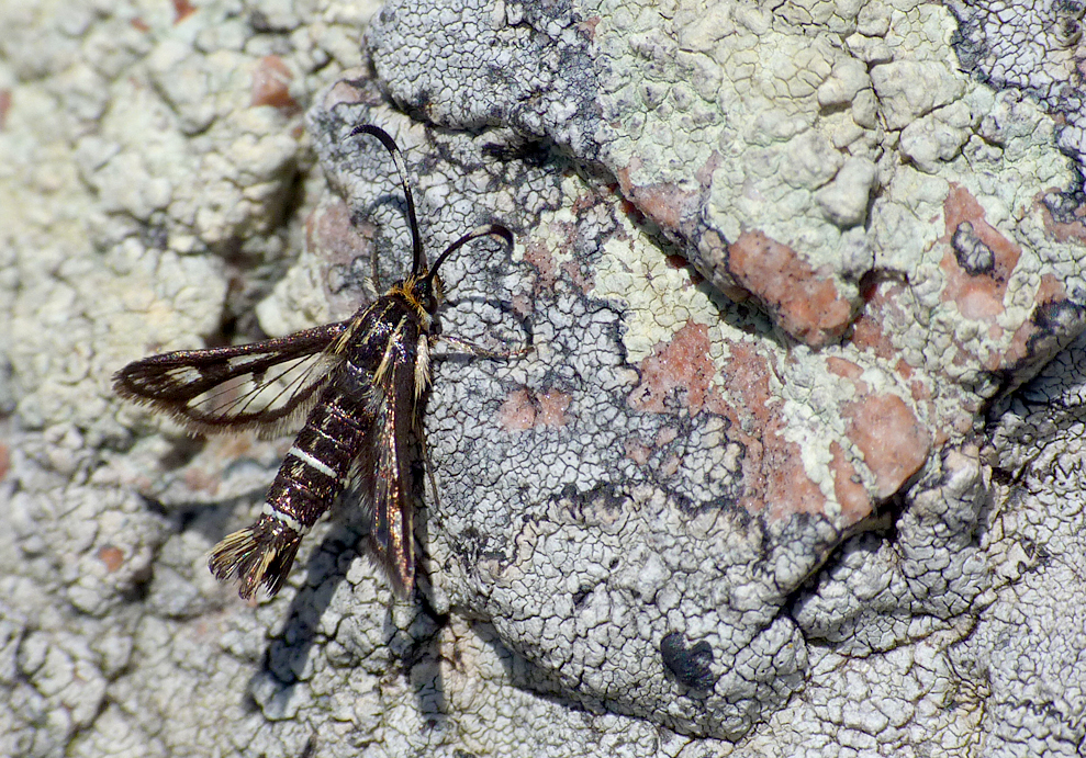 Thrift Clearwing