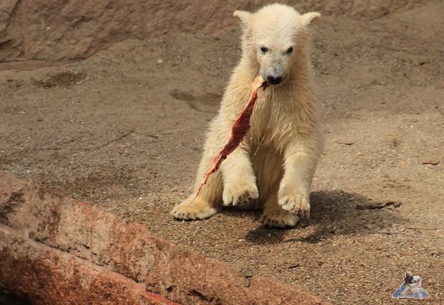 Eisbär Fiete im Zoo Rostock 14.06.2015  145