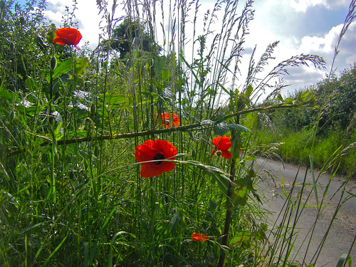 Poppies by the roadside | by Rich Saunders