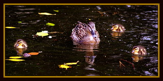 Little quackers | by * RICHARD M