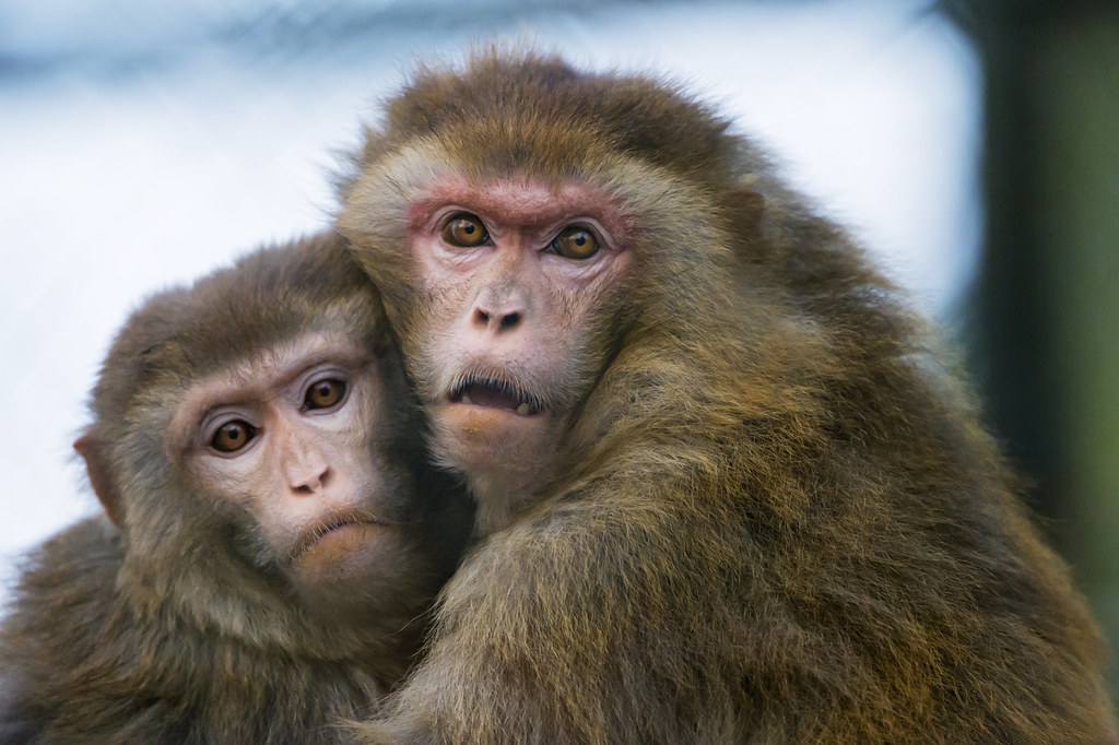 Two macaques holding each other | Cute scene of two ...