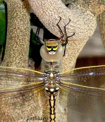 A Dragon Fly in my garden