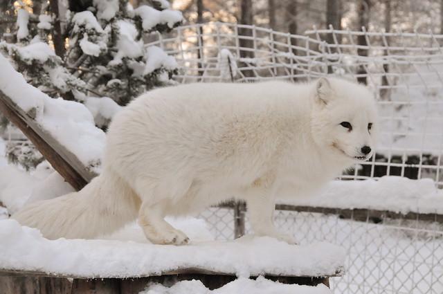 Baby White Wolf - photo#24