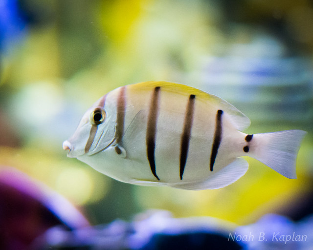 Striped aquarium fish flickr photo sharing for Black and white striped fish freshwater