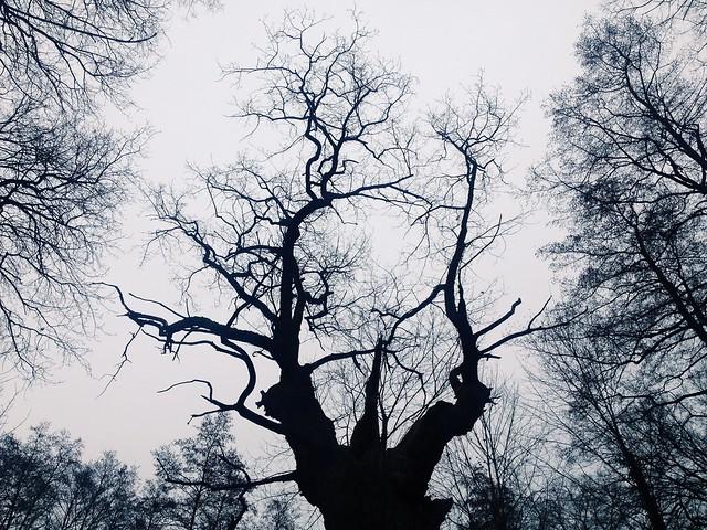 Dicke Marie, the oldest tree in Berlin