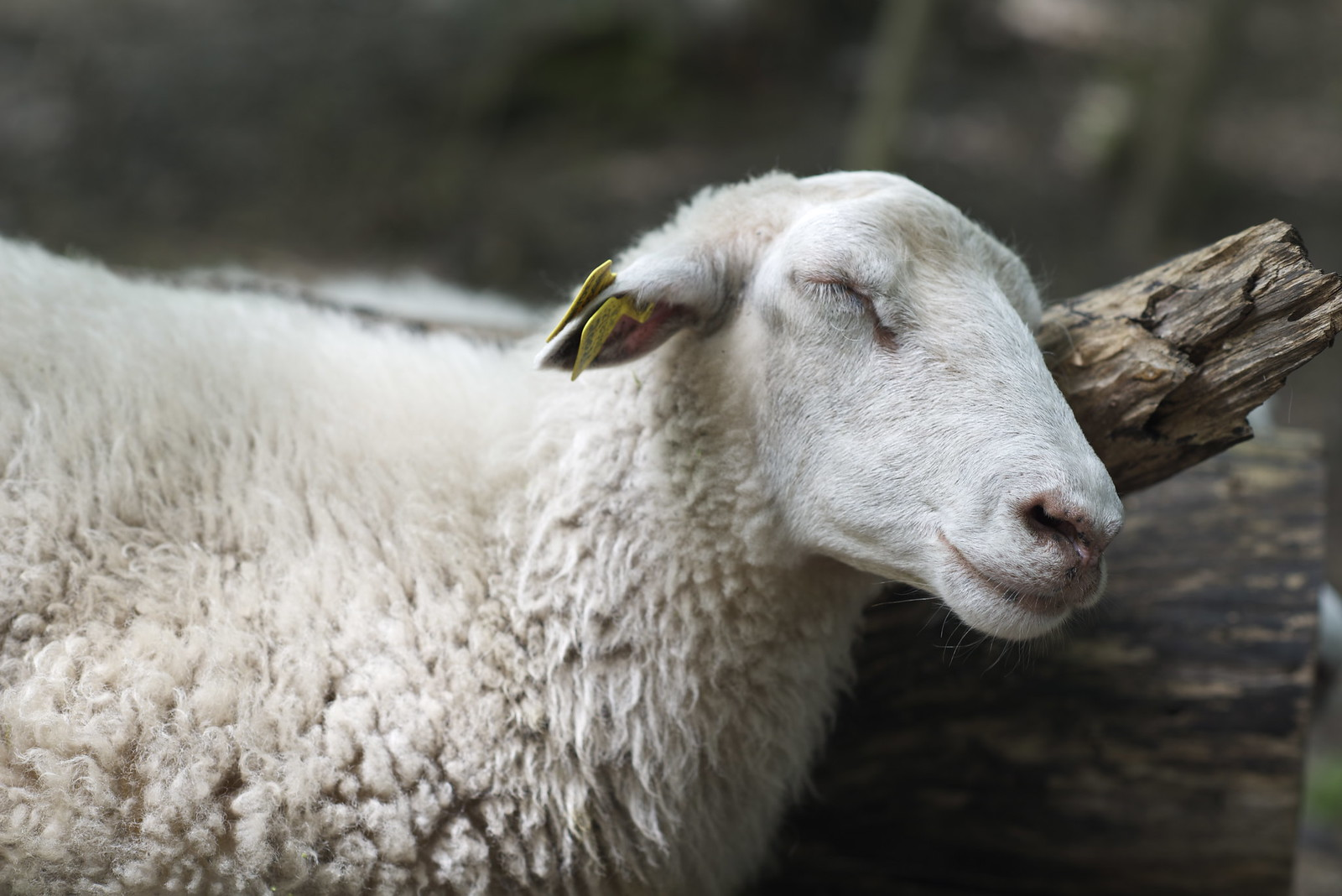 Sheep May Safely Grace | by geirt.com