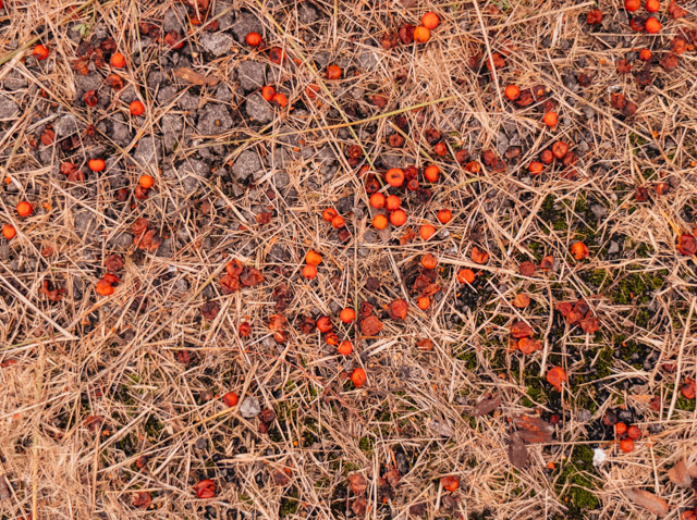 red berries on the ground