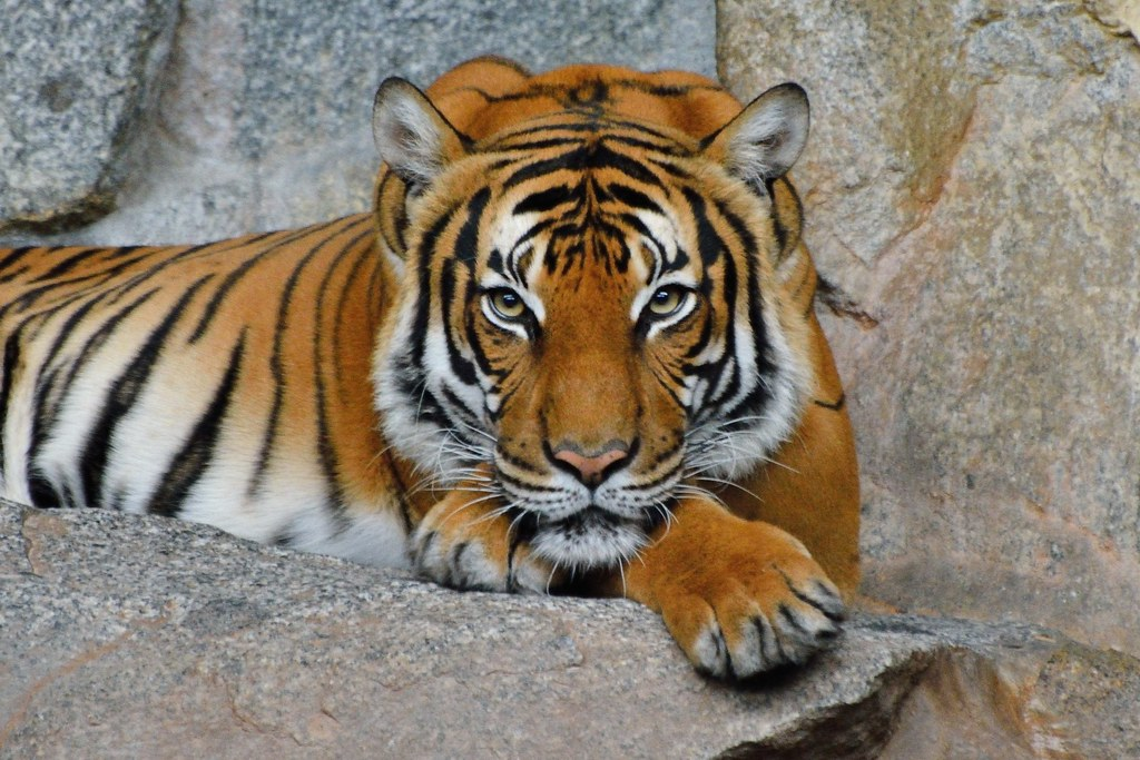 tigre indocinese panthera tigris corbetti maschio tier