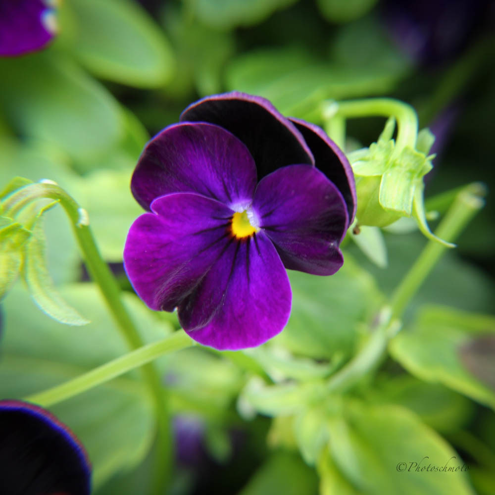 Image Gallery Illinois State Flower