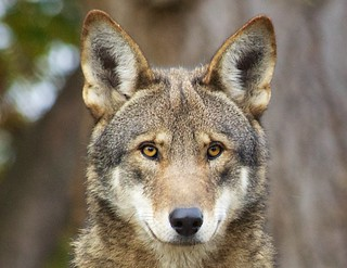 we've gone to court to protect the world's only wild population of red wolves that are now in critical condition with only about 50 to 75 red wolves remaining in the wild - Picture Flickr by  Red Wolf Recovery Program