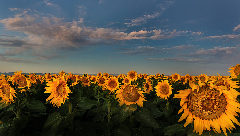 Sunflowers | Spectacular sunflower plantation at Windy ...