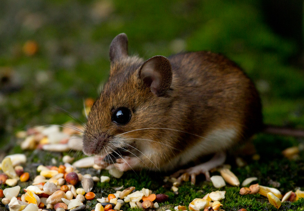 Field mouse animal - photo#4