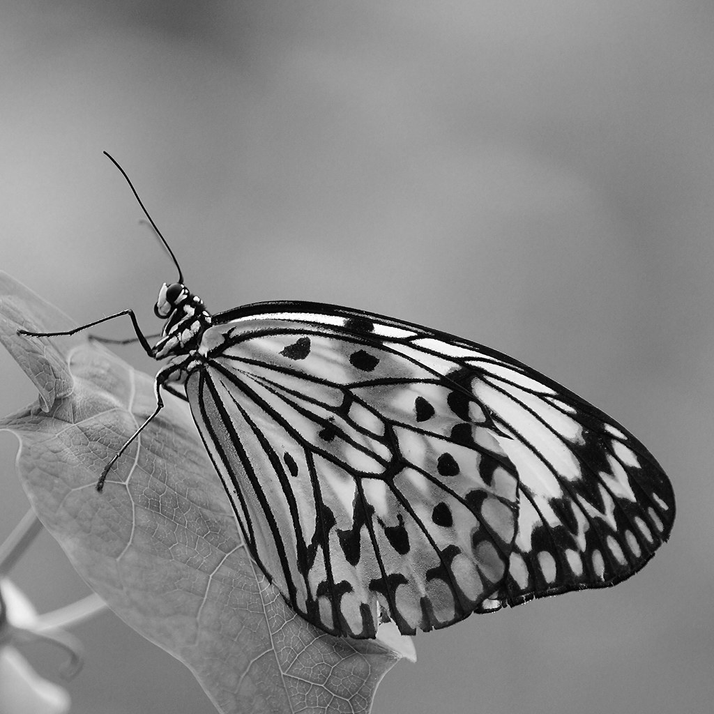 butterfly in bl black and white black and white black and whiteVintage Butterfly Black And White