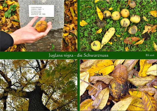 chlosspark Neckarhausen Schwarznussbaum Schwarznuss (Juglans nigra) - unknackbar, unnahbar ... Fotos: Brigitte Stolle 2016