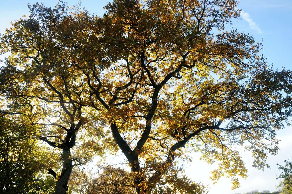 Knick Mit Stieleichen Quercus Robur Herbst In Bergenhu Flickr