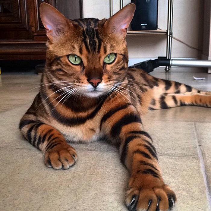 Бенгальская домашняя кошка - ПоЗиТиФфЧиК - сайт позитивного настроения!